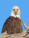 bald eagle portrait2.jpg